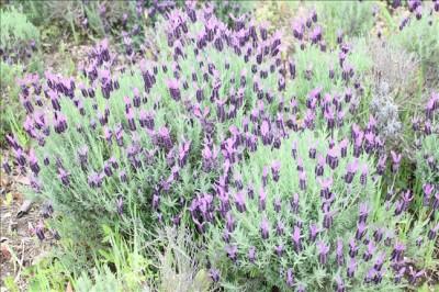 ハーブ園に咲くラベンダーの花