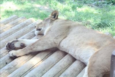 お昼ね中のライオン