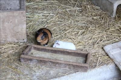 こどもの杜ミニ動物園のモルモット