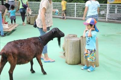 ふれいあ動物園でメスのヤギと対面するペン太
