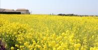 ソレイユの丘の入り口右手に広がる菜の花畑