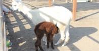アルパカの子供が母アルパカのお乳を飲む姿