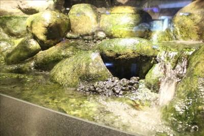 渓流を再現した淡水魚のコーナー