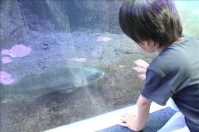 大きな魚に釘付けの3歳児