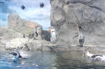 大人気のペンギンのコーナー