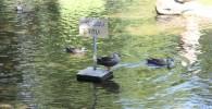 池で泳ぐカモさんたち