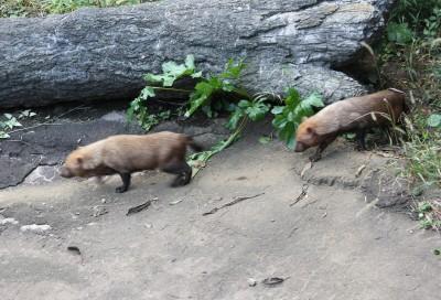 横浜動物園ズーラシアのヤブイヌ
