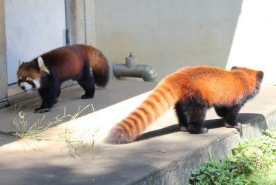 レッサーパンダ2匹
