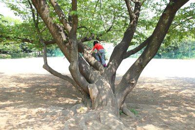 木登りをするのにちょうどいい木